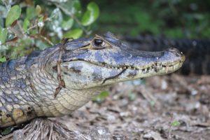Kaaiman Pantanal Around The World Travel