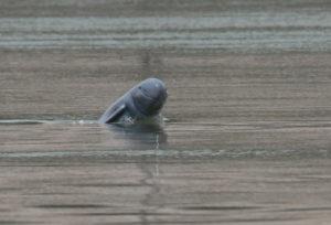 Dolfijnen Cambodja - Around The World Travel