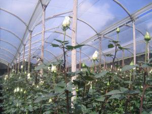 Day 3_Rose plantation - Ecuador rondreis Around The World Travel