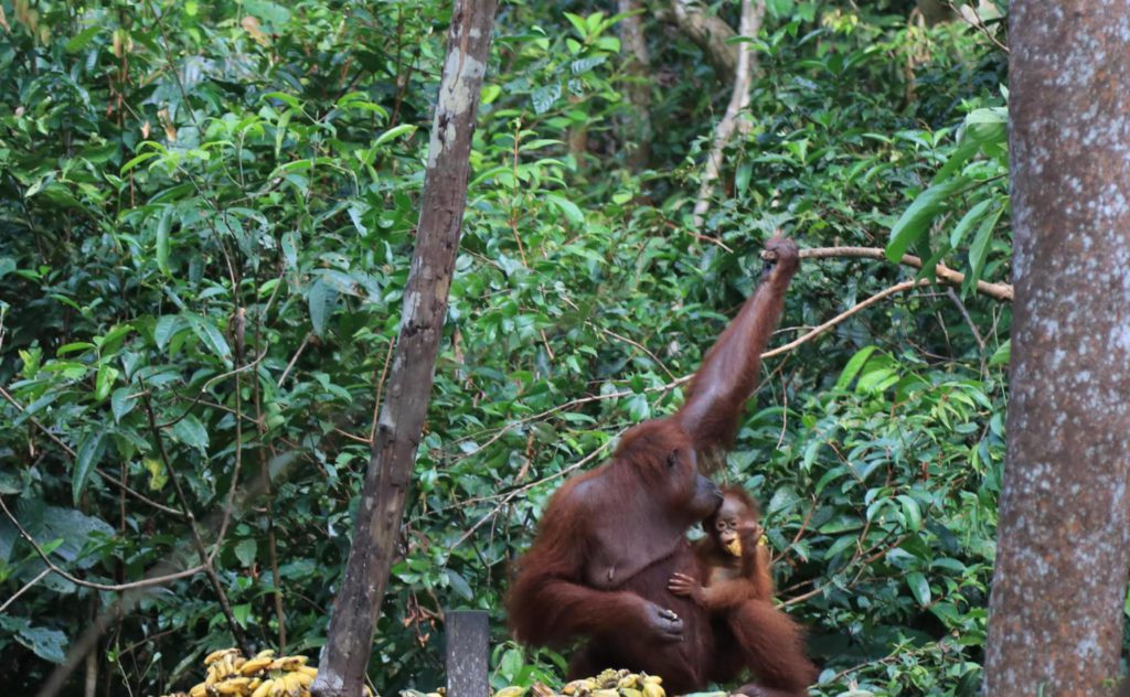 dag 5 - Familie Rondreis Indonesie - Around The World Travel - orang oetang