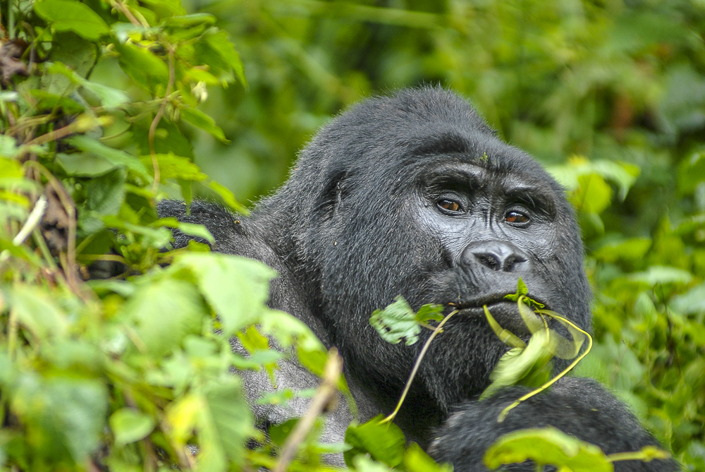 Bwindi - Mountain Gorilla trekking | rondreis Oeganda met Around The World Travel