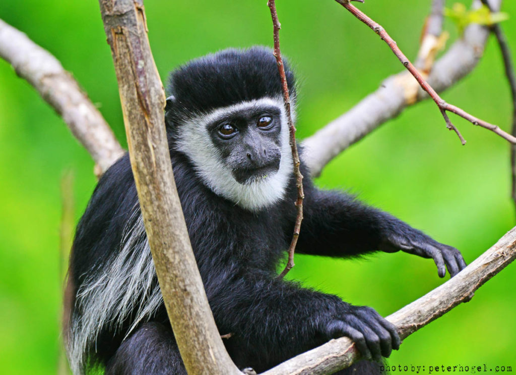 Kibale - Black and white colobus trekking | rondreis Oeganda met Around The World Travel