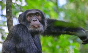 Kibale - Chimpansee trekking | rondreis Oeganda met Around The World Travel