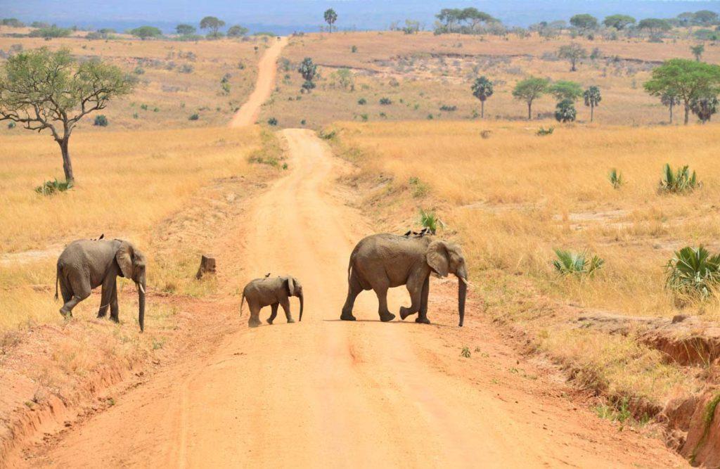 Queen Elizabath National Park - olifanten spotten | rondreis Oeganda met Around The World Travel